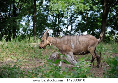 Goat In Meadow. Goat Herd