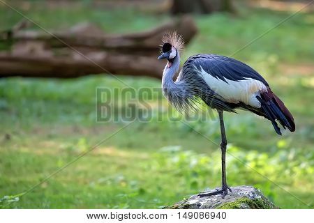Grey Crowned Crane - Balearica regulorum in the wild