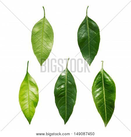 five mandarin leaf on a white background