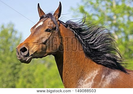 Bay Arabian Mare cantering in meadow portrait close up