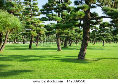 Pine trees park in Tokio, Japan