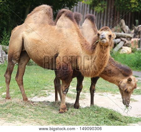 Two Camels With Long Hair While Eating
