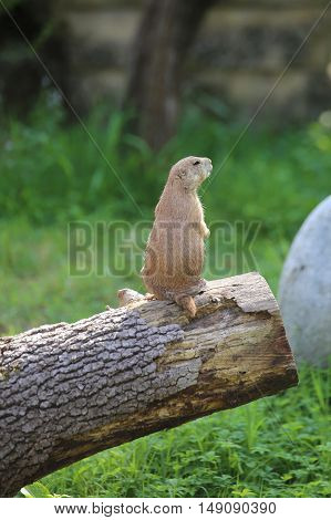 Prairie Dog On A Trunk Of A Tree