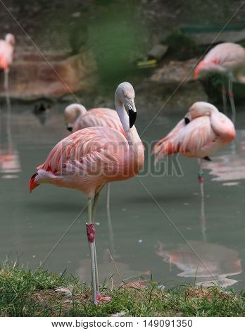 Pink Flamingo With Colored Feathers And Long Beak