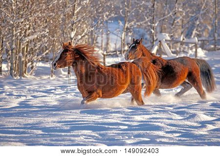 Two Arabian Horses running together in fresh snow at winter pasture .