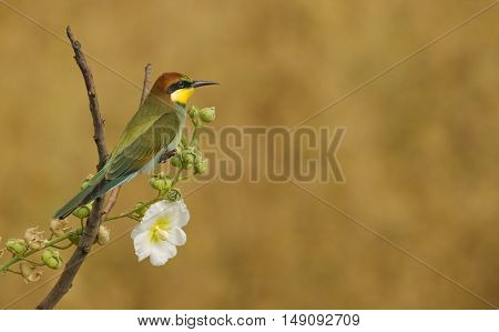European Bee-eaters are living in at the mountain Karacadag,