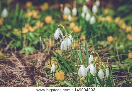 Flowerbed With Snowdrops And Eranthis