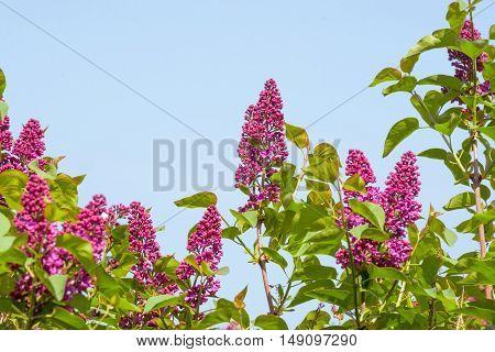 Syringa Vulgaris Tree With Flowers