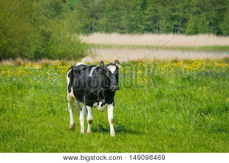 Holstein Friesian Cow Standing On A Field