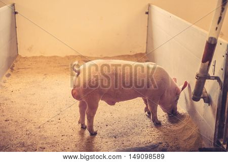 Pig Eating Grain In A Stable