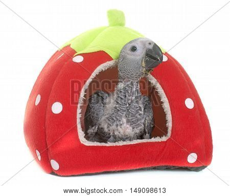 baby gray parrot in front of white background