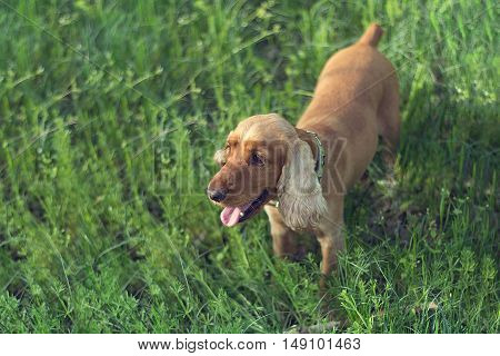 English Cocker Spaniel dog breed in the meadow in the grass