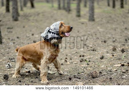red dog breed English Cocker Spaniel in a headscarf in the forest