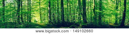 Forest Scenery With Green Beech Trees