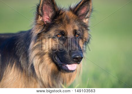 German shepherd dog outdoor portrait