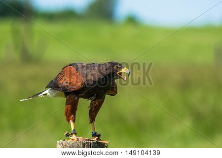 Harris Hawk On A Wooden Pole