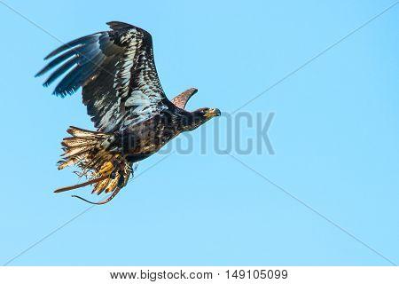 Haliaeetus Albicilla Eagle Flying