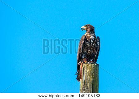 Haliaeetus Albicilla Eagle Looking For Prey