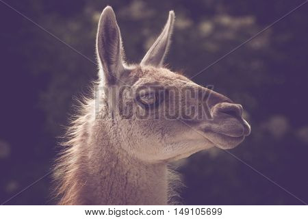 Guanako Lama Headshot In The Sun