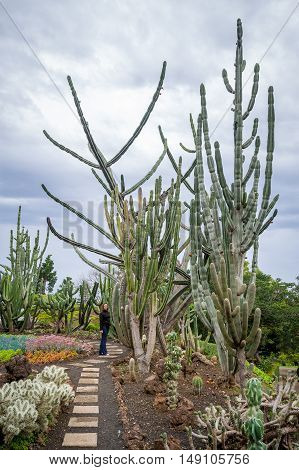 Woman tourist is standing near the giant cactus at Botanical Garden in Funchal. Madeira island, Portugal.