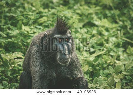 Macaca Nigra Monkey Sitting In Green
