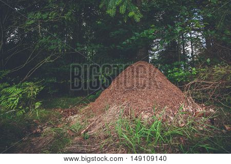 Anthill in a pine forest in Scandinavia