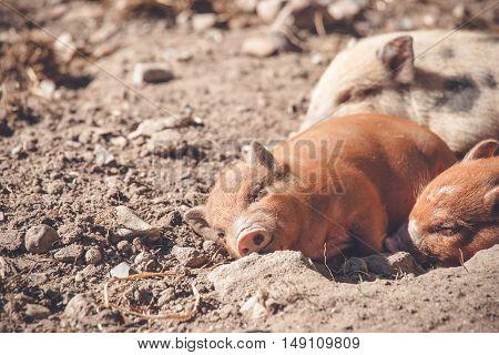 Cute Piglet Sleeping In A Barnyard