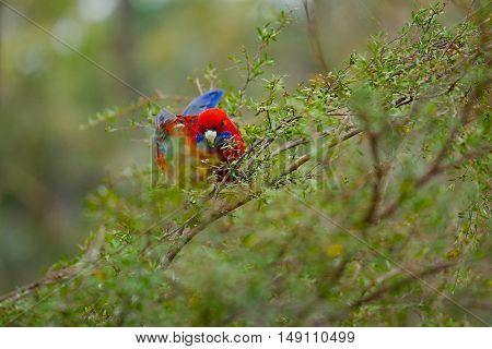Parrot crimson rosella