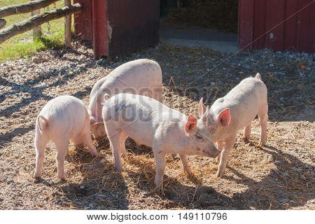 Pigs In A Farmyard