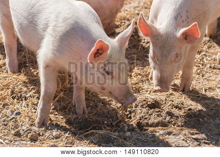 Pink Pigs In A Pigsty