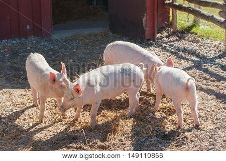 Cute Pink Piglets In A Pigsty