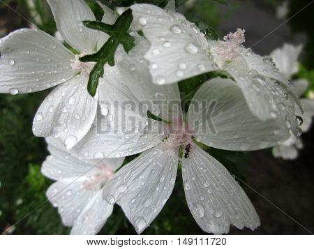 Little black Ant on the flower & Rain drop