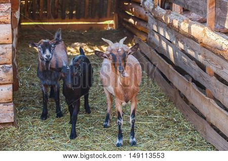 Three young goat walking in the wooden paddock for the goats on the farm for animals. Breeding livestock.