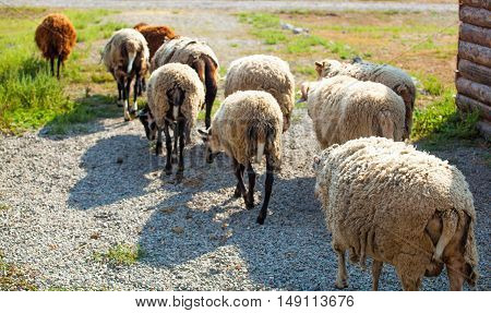 In the morning a flock of sheep out of corral for the cattle in the pasture.Breeding animals on the farm.