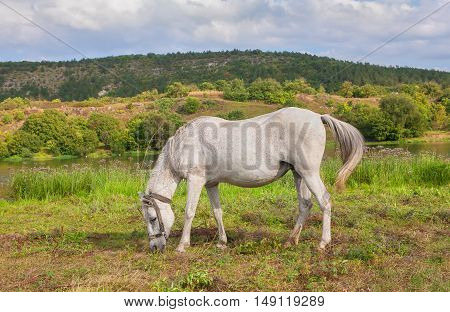 beautiful white mare grazing on the meadow