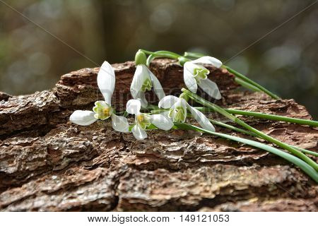 Many  snowdrops perched on tree bark in nature
