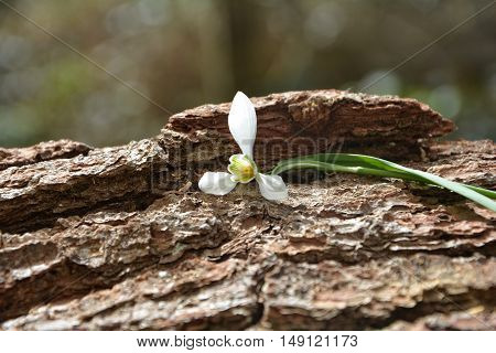 A snowdrops perched on tree bark in nature