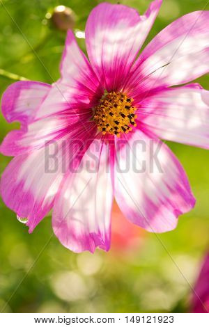 Summer floral background. Selective focus at the flower.Pink cosmos flower isolated on green.