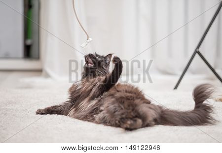 Maine Coon cat lying on the floor and playing with toy. Focus on toy.