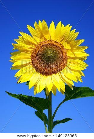 sunflower over cloudy blue sky