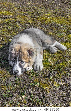 Fluffy Caucasian shepherd dog is lying on the ground