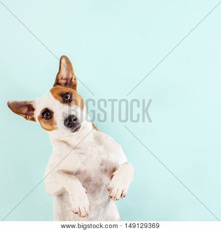 Cute dog. Lying pet. Copy space