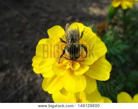 Summer Yellow Flower Insect Honeybee Bumblebee Bombus
