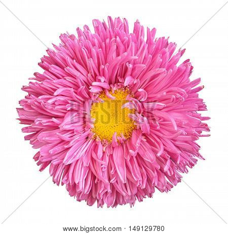 Pink Aster Flower With Yellow Heart Macro Photography Isolated On White
