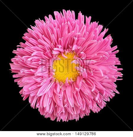 Pink Aster Flower With Yellow Heart Macro Photography Isolated On Black