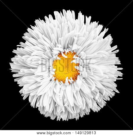 White Aster Flower With Yellow Heart Macro Photography Isolated On Black