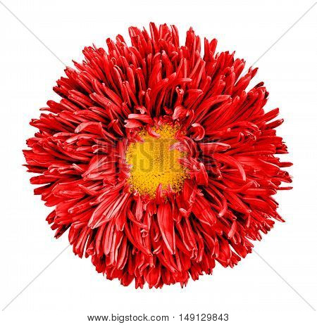 Red Aster Flower With Yellow Heart Macro Photography Isolated On White