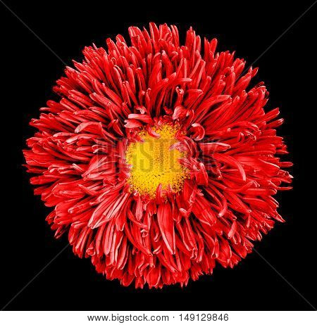 Red Aster Flower With Yellow Heart Macro Photography Isolated On Black
