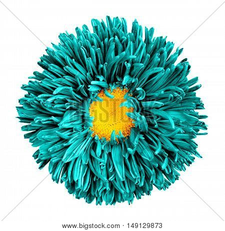 Turquoise Aster Flower With Yellow Heart Macro Photography Isolated On White