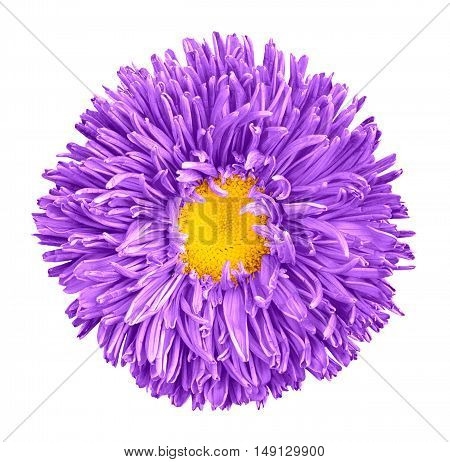 Violet Aster Flower With Yellow Heart Macro Photography Isolated On White